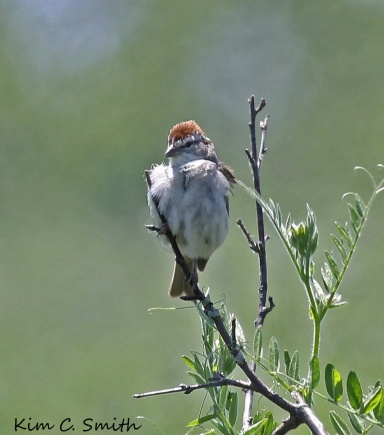Chipping Sparrow watching me watching him
