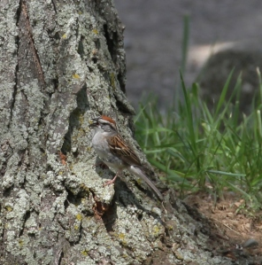 Chipping Sparrow singing (click to enlarge)