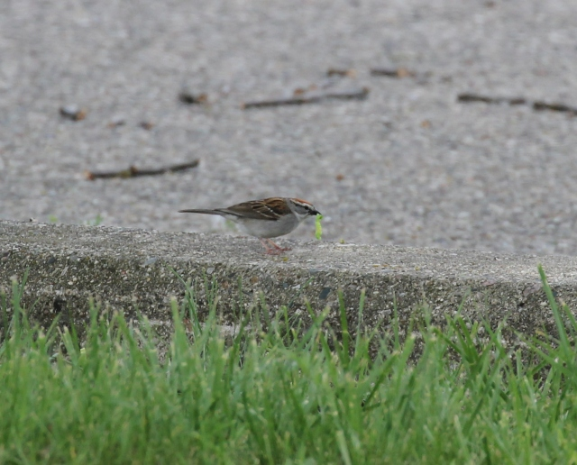 Chipping Sparrow with leaf