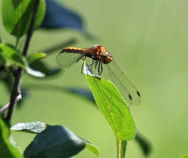 The only dragonfly to sit still for me that day!