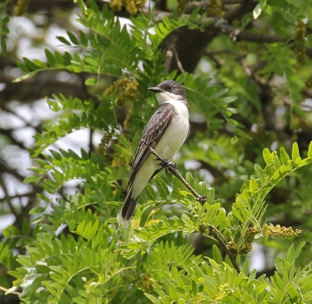 Eastern Kingbird, scouting for flying insects