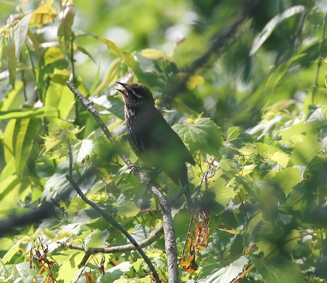 Fledgling Red-winged Blackbird waiting to be fed