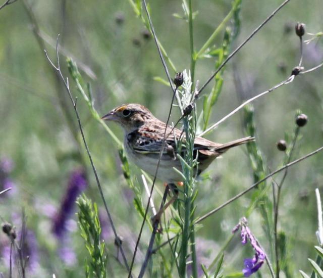 Grasshopper Sparrow to edit v4