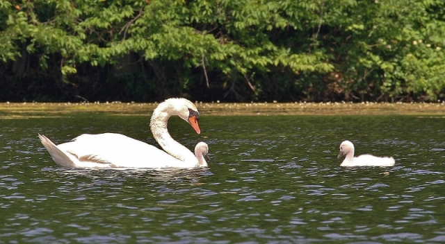 Mute Swan with cygnets. The other parent is just out of the photo frame.