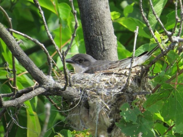 Nesting Kingbird bald mountain 01 by Eric (800x600)