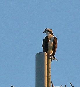 Osprey on cell tower v2