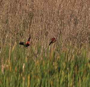 Red-winged Blackbird harassing Sandhill Crane
