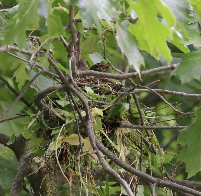 Robin sitting on nest