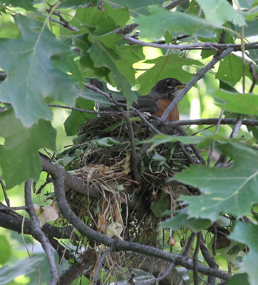 Robin back on the nest after fighting off a cowbird and a chipmunk