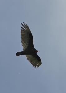Turkey Vulture flyover