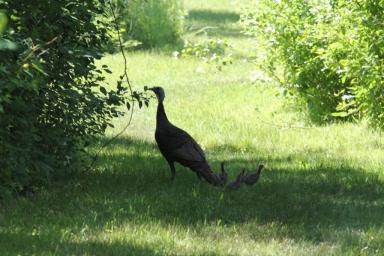 Wild Turkey and six poults (1024x683)