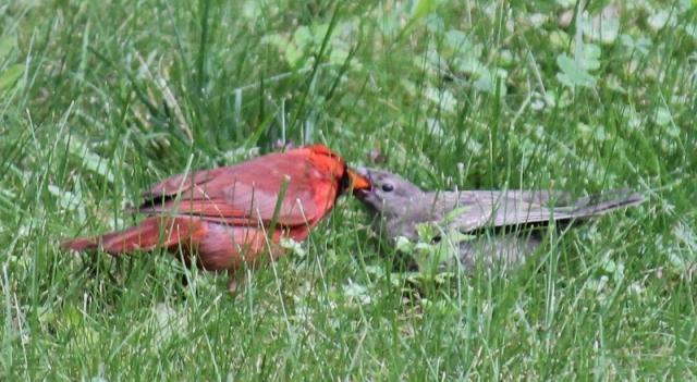 Male Northern Cardinal feeding Cowbird baby