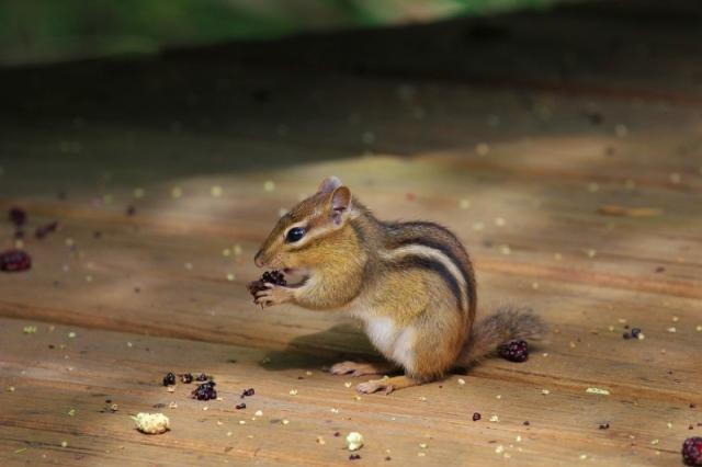 Chipmunk eating mulberries