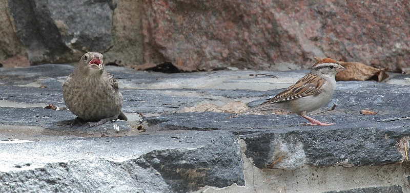 Cowbird baby with Chipping Sparrow parent