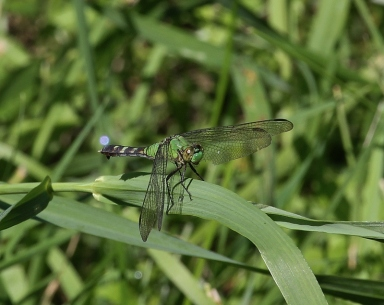 Eastern Pondhawk dragonfly, female