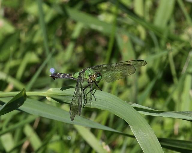 Eastern Pondhawk dragonfly, female