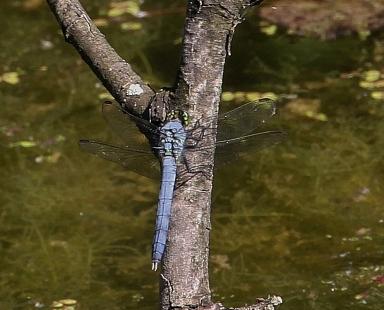 Eastern Pondhawk dragonfly, male