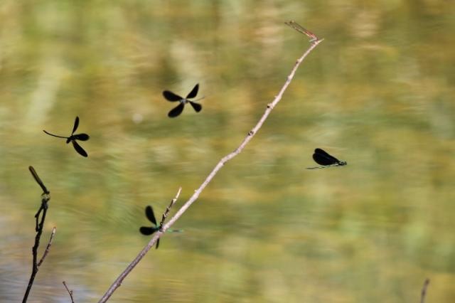 Ebony Jewelwings - damselflies (800x533)