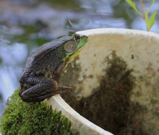 Green Frog, waiting for lunch to fly by
