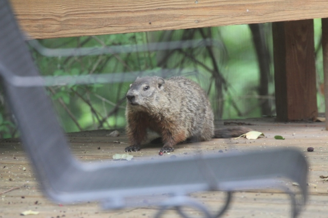 Groundhog having a mulberry snack