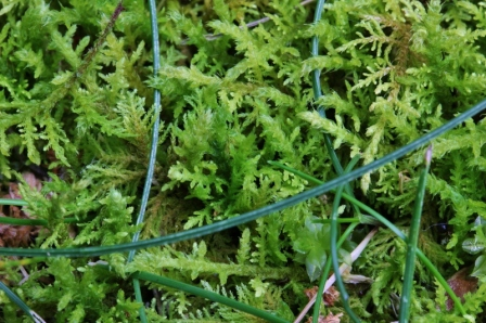 Close up of the moss, with a few strands of grass still hanging on.