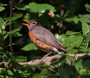 One of our resident robins in the mulberry tree, opening her beak to cool off on a hot day