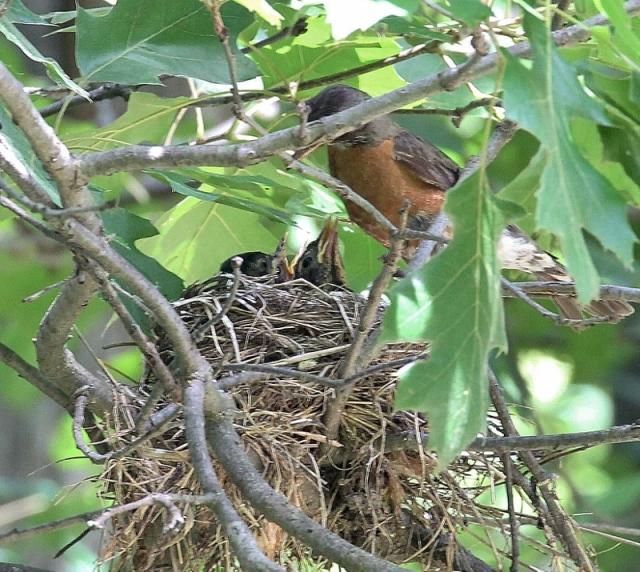 robin's nest july 26 070 (800x715)