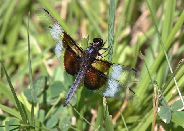Widow Skimmer dragonfly, male