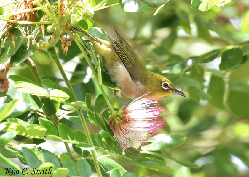 Japanese White-eye, also known as Mejiro. Isn't he beautiful?