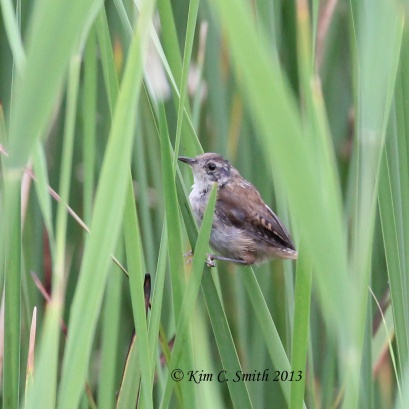 Marsh Wren hiding in the sedges