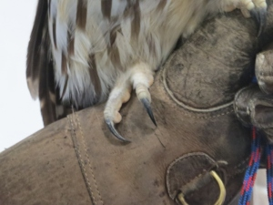 Talons on a Barred Owl