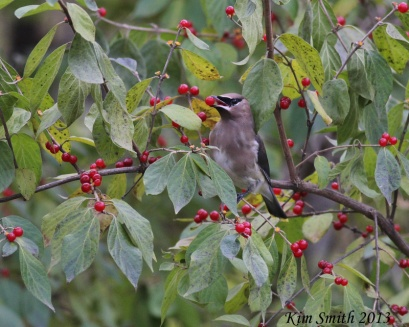 Cedar Waxwing with red berry in beak - good one (800x641)