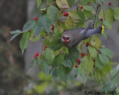 Cedar Waxwing with red berry in beak - head on view (640x511)