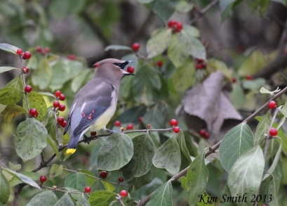 Cedar Waxwing with red berry in open mouth - a bit blurry (800x574)