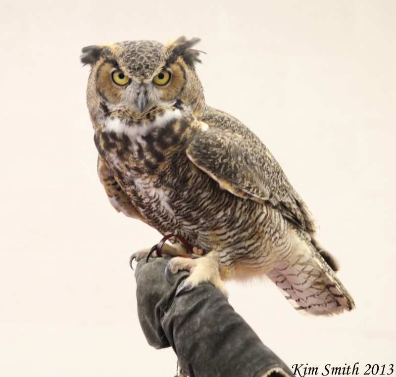 Circie the Great Horned Owl from Howell Nature Center (4) (800x762) w sig