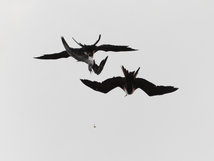 Great Frigatebirds attacking booby and food falling below