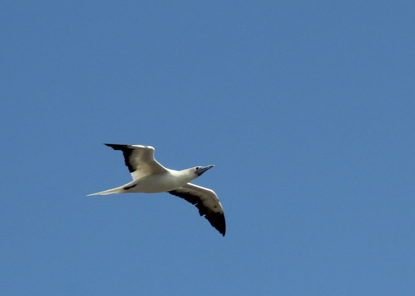 Red-footed Booby, unsuspecting....