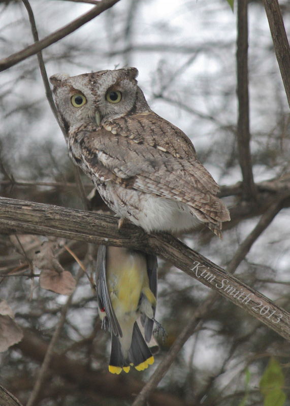 screech-owl with cedar waxwing prey (571x800) w sig