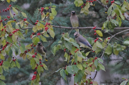 Cedar Waxwings feasting on berries in our yard
