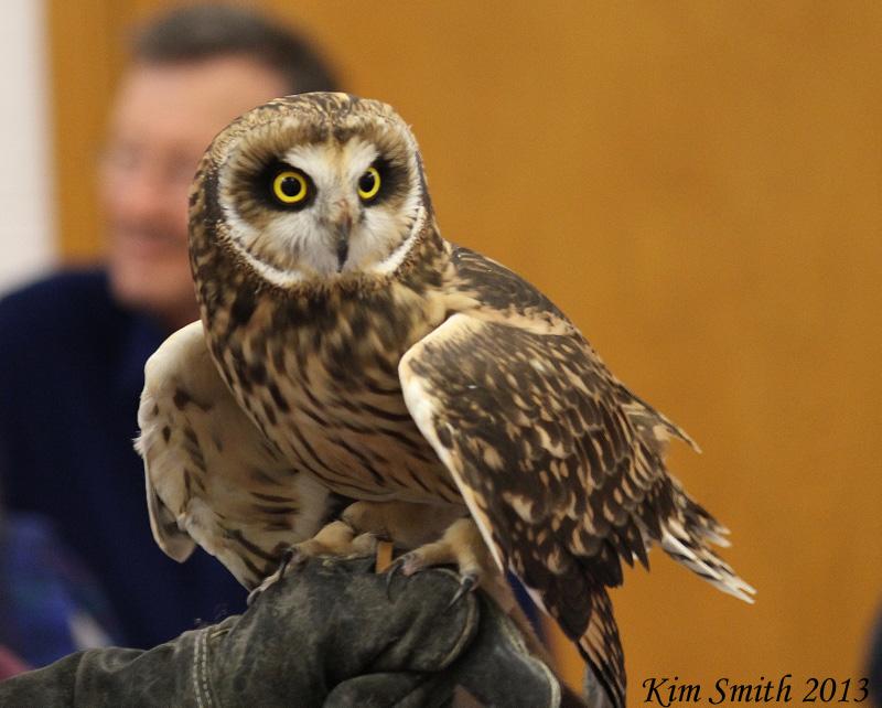 Short-eared Owl (9) (800x642) w sig