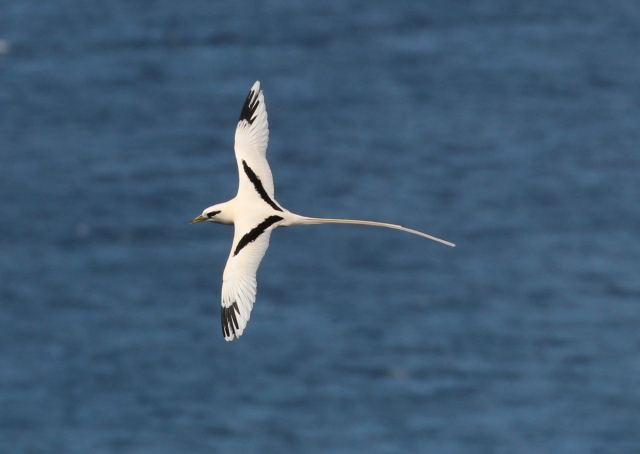 White-tailed Tropicbird - isn't that beautiful?