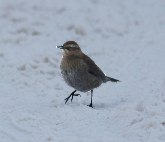 Rusty Blackbird from Superior Twp, Michigan, December 18, 2013