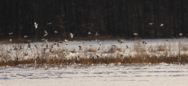 A mixed flock of Horned Larks and Snow Buntings