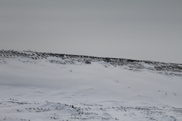 Well-camouflaged Snowy Owl