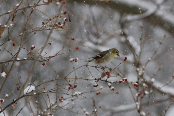 Goldfinch eating red berries in snowstorm (1024x684)