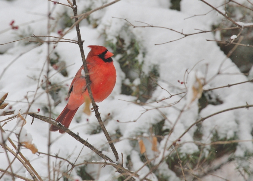 Male Cardinal in snow (1024x731)