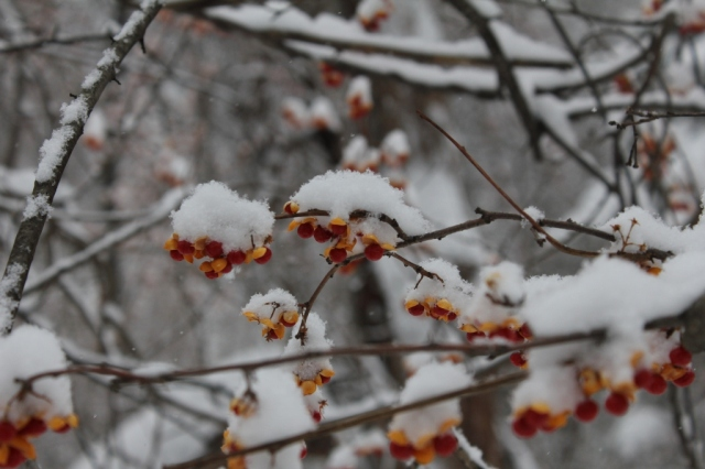 Snow-covered bittersweet berries