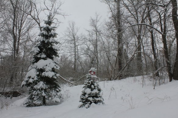 Grandaddy spruce tree and baby Korean Fir beside our driveway