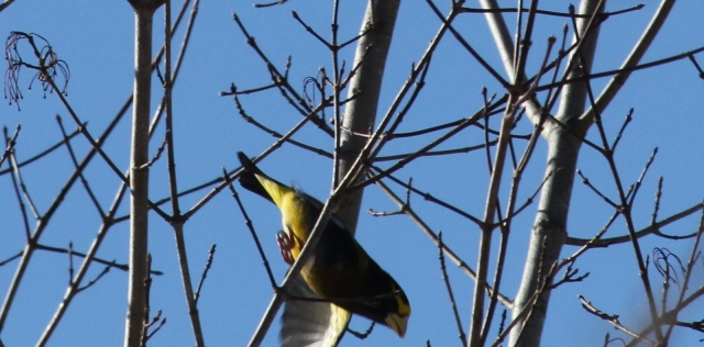 Evening Grosbeak -- I wish I'd been able to get a better pic of him...he was beautiful!