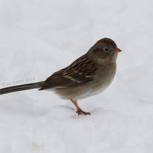 Field Sparrow, an unusual winter visitor in our area